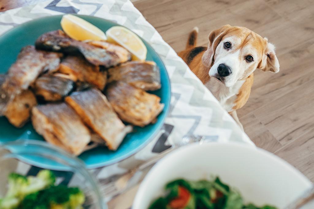 Chien qui salive devant le repas sur la table qui n'est pas pour lui.