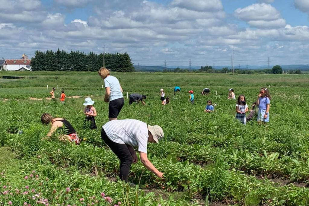 Quelques familles dans des champs de fraises en train de faire de l'autocueillette.